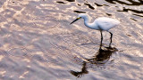 Egret with Ripples