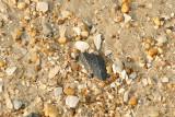 Interesting Black Seashell