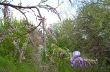 First Wisteria Raceme 2008