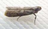 Cyanaphycis oculiferella