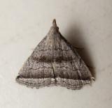 Lysimelia neleusalis