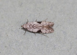 Gelechiidae - Anarsia sp. nr. isogona