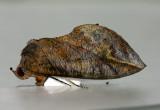 Eudocima phalonia