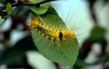 Third instar Calliteara horsfieldii