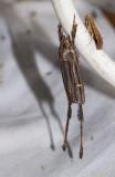 Aeolarcha eaphthalma.