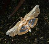 Herdonia hainanensis