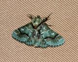 HK National Moth Night 2010 - Coenodomus sp.