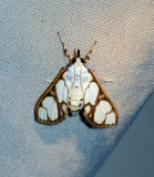 Cirrhochrista fumipalpis