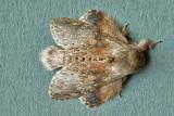 Stauropus alternus - Lobster moth