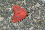 Arctioblepsis rubida