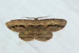 Chorodna strixaria