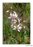 Dictamnus hispanicus (Gitam)