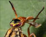Deer Fly Probiscus
