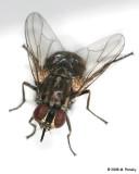 Flies (Stable)