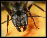 Camponotus pennsylvanicus portrait
