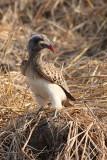Hornbill, Zambia