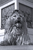 One of the four lions guarding Nelson's Column