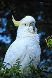 Sulphur Crested Cockatoo, New South Wales