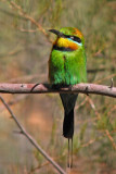 Bee Eater, Northern Territory