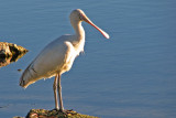 Spoonbill, Western Australia