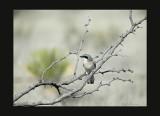 Logerhead Shrike