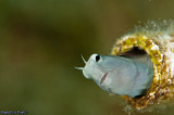 Peeping blenny