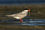 Common Tern with fish pb.jpg
