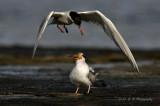 Common terns pb.jpg
