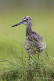 Willet in the grass 2 pb.jpg