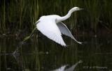 Snowy Egret 4 pb.jpg