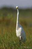 Great Egret 3 pb.jpg