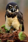 CSDS2574 Spectacled Owl - web.jpg