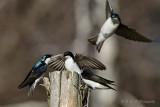 Tree Swallows 2 pb.jpg