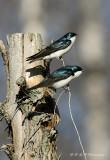 Tree Swallows 3 pb.jpg