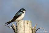 Tree Swallow 4 pb.jpg