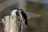 Tree Swallows pb.jpg