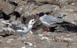 Swallow-tail Gull & Chck