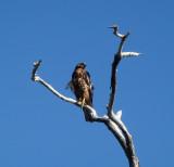 Herons , Hawk & Pelican