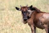Juvenile wildebeest