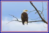 WILD - Bald Eagle on Gros Ventre Road