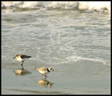 Sanderling and Piping Plover