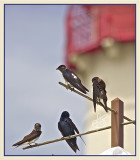 Purple Martins at Cape May Point