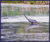 Blue Heron on the hunt