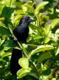 Groove-billed Ani, Crotophaga sulcirostris