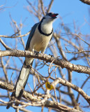 White -Throated Magpie-Jay