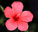 Hibiscus from Our Front Yard