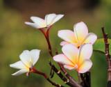 Sancuanjoche (Plumeria Rubra)