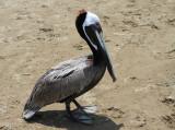 Pelicans in Panama