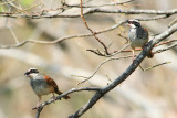 Stripe-headed Sparrows
