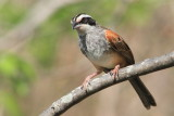 Stripe-headed Sparrow,  Aimophila ruficauda